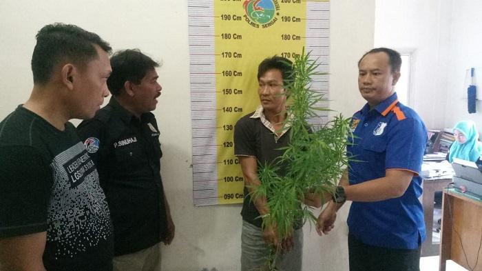 Polisi Tangkap Sang Pemilik Kebun Cabai Berbuah Ganja di Sergai