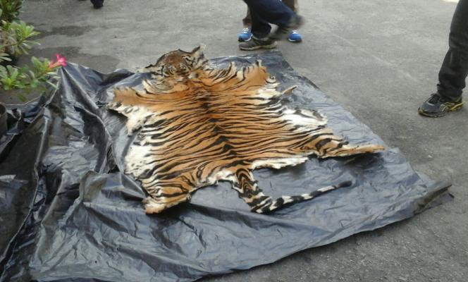 Polres Langkat Tangkap Komplotan Pemburu Harimau Sumatera