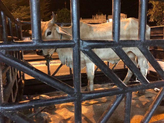 Curi Lembu, Tiga Pelaku Diringkus Polsek Perdagangan
