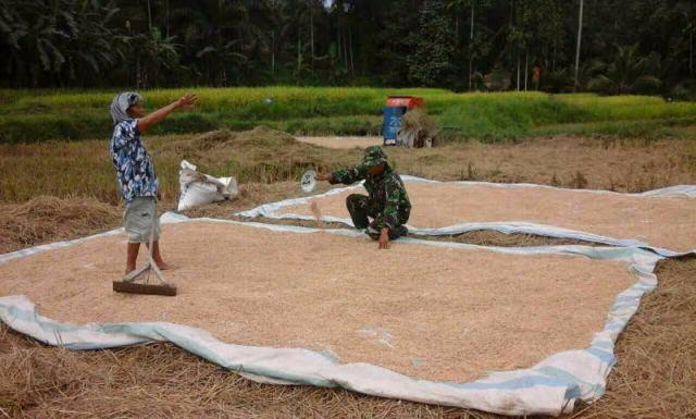 Musim Hujan, Salah Satu Persoalan Petani dalam Pengeringan Padi