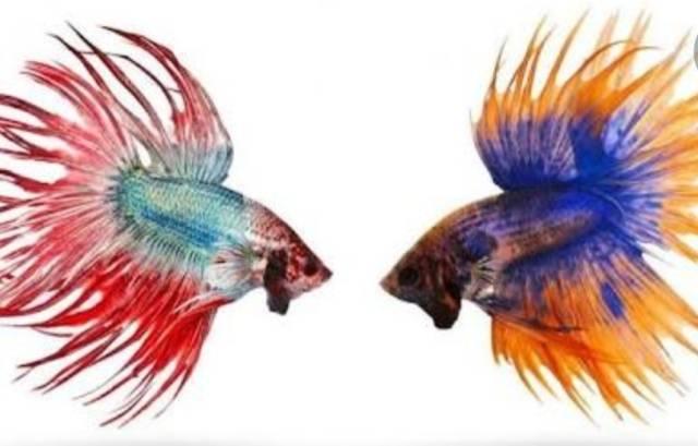 Personil Polsek Helvetia Budidaya Ikan Cupang Hias, Ini Kata Kapolsek Pardamean Hutahaean