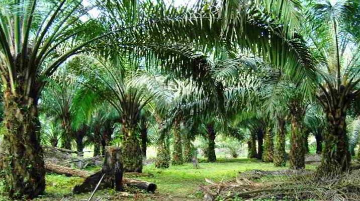 Perkebunan Kelapa Sawit di Sumut Diminta Perduli Tentang Hak Anak