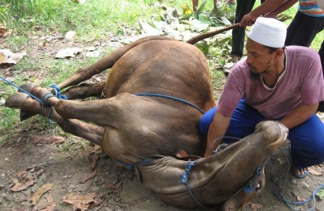 Kanwil Kemenagsu Serahkan Dua Ekor Lembu Kurban Untuk Pengungsi Sinabung
