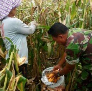 Babinsa Koramil 08/Pantai Cermin Bantu Petani Desa Besar Terjun Panen Jagung