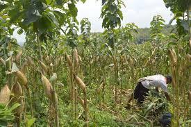 Ratusan Petani Jagung di Karo Gagal Panen