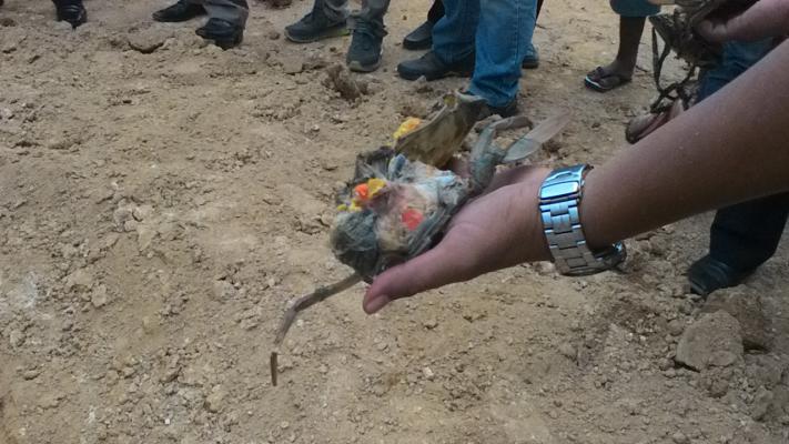 Kepiting Bakau Betina Bertelur yang Diamankan Bea Cukai Berasal dari Langsa