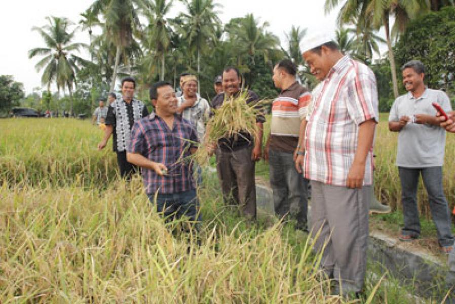 Plt Bupati Madina Panen Padi Siganteng di Huraba