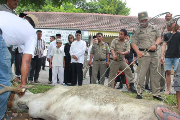 Pemko Medan Sembelih 74 Lembu Kurban